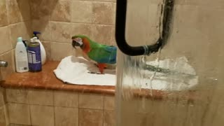 Parrot loves to sing in the shower  - Video