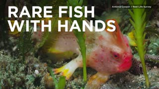 This Rare Fish Has Fins That Work Like Hands - Video