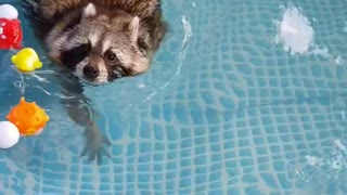 Pet raccoon goes for relaxing swim in pool