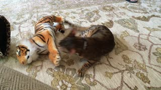 Domestic cat attacks Bengal Tiger  - Video