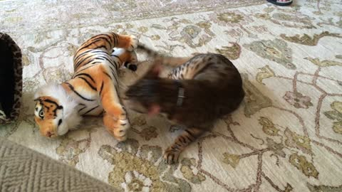 Domestic cat attacks Bengal Tiger