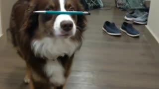Dog flawlessly balances pen on nose while walking