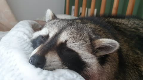 Raccoon snores and sleeps in bed.
