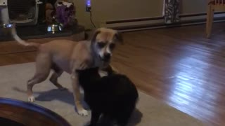 Dog and cat play fighting in living room - Video