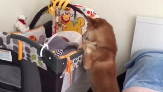 Shiba Inu preciously watches over sleeping baby - Video