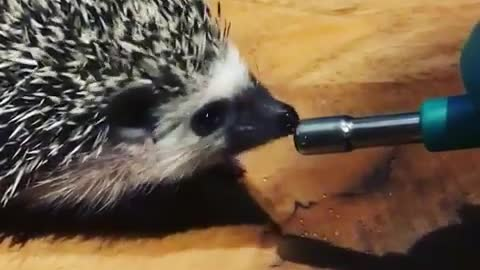 Hedgehog drinking water from water dispenser