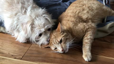 Terrier can't get enough of kitty best friend