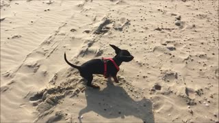 Puppy going crazy being on the beach for the first time  - Video