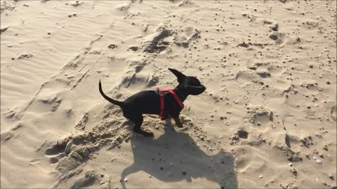Puppy going crazy being on the beach for the first time