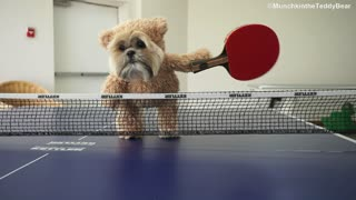 Munchkin the Shih Tzu is the cutest ping pong champion ever! - Video
