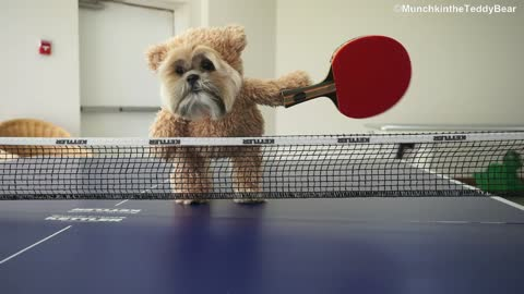 Munchkin the Shih Tzu is the cutest ping pong champion ever!