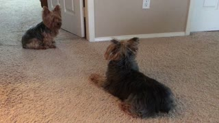 Yorkies Playing