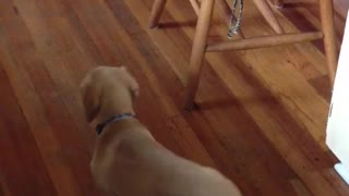 Dog chases its tail then falls  - Video