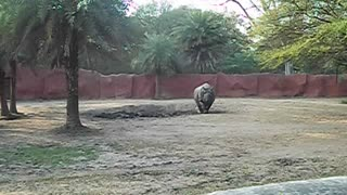 RHINO PREPARES FOR FIGHT - Video