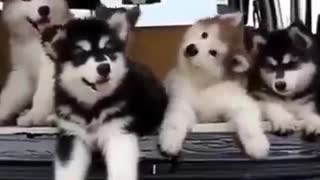Cute Husky Puppies - Video
