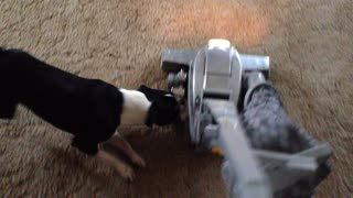 Boston Terrier attacks vacuum cleaner - Video