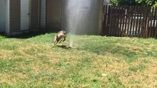 Puppies first sprinkler experience - Video