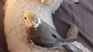 Bird standing on poodle - Video