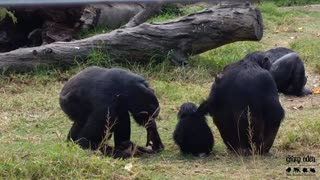 Loving Chimps Play And Entertain New Baby Addition