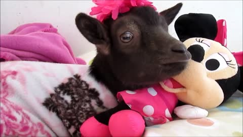 Baby goat relaxes in pajamas