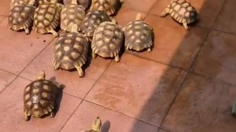 how many turtles in one place