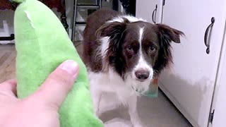 Border Collie has peculiar reaction to squeaky toy