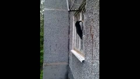 The cat climbs into the house through the window.