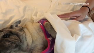 Owner petting pug in purple and pink jacket laying in bed being pet