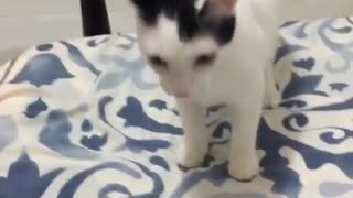 White cat playing catch with metal toy
