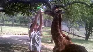 Bottle feeding a baby giraffe