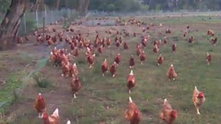 Mass number of chickens follow person on walk - Video