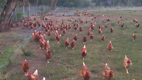 Mass number of chickens follow person on walk