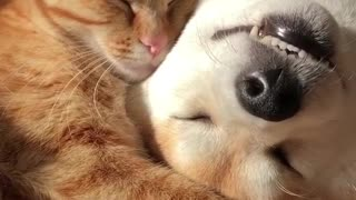 My cat sleeping next to dog in funny way - Video