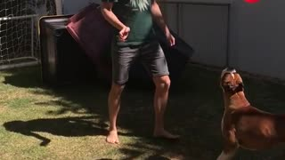Boxer plays red balloon - Video