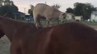 Playful baby goats jump onto back of patient horse