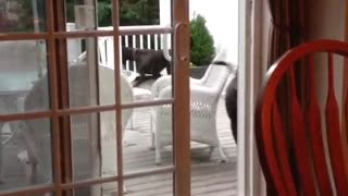 Dog opens sliding glass door  - Video