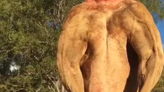 Would You Square Up Against This Kangaroo? - Video