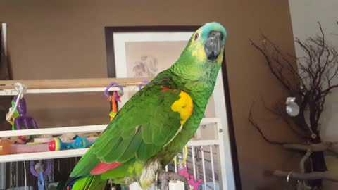 Blue Fronted Amazon Parrot Breaks Out in His Happy Dance!