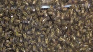 Caffeine exposure leaves bees buzzing - Video
