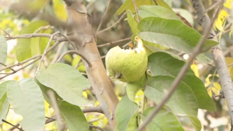 Guava on tree one is eaten by birds other one save