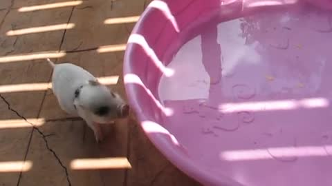 Hamlet the Mini Pig - Jumps in Pool!