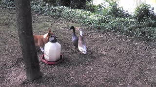 Cute Corgi Tries To Herd Ducks - Video