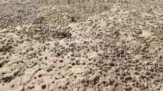 Thousands Of Little Crabs Scamper Across Beach - Video