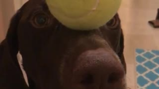 Dog holds tennis ball on nose