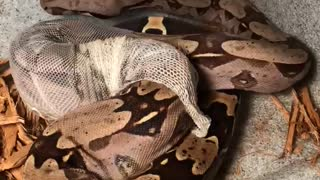 Time-Lapse Footage of Suriname Boa Constrictor Molting
