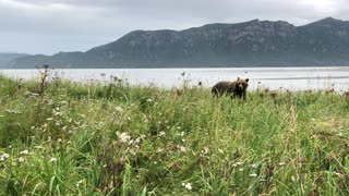 Close Encounter with a Mama Grizzly in Alaska