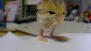 This rodent is the cutest animal you've never seen! - Video