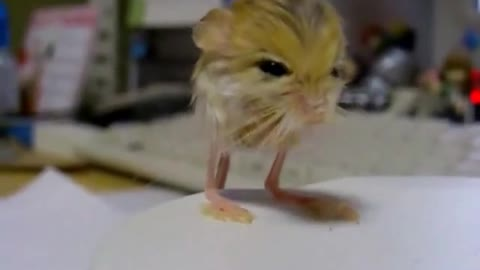 This rodent is the cutest animal you've never seen!