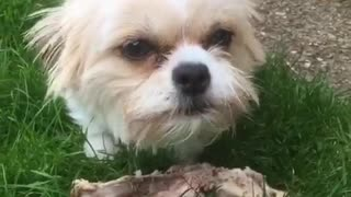 Fluffy white and brown dog standing on grass making a lot of growling noises