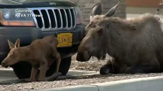 Moose gives birth in Alaska car park